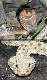 Above: Egyptian Cobra (Naja haje). Below: Saharan Horned Viper (Cerastes cerastes).